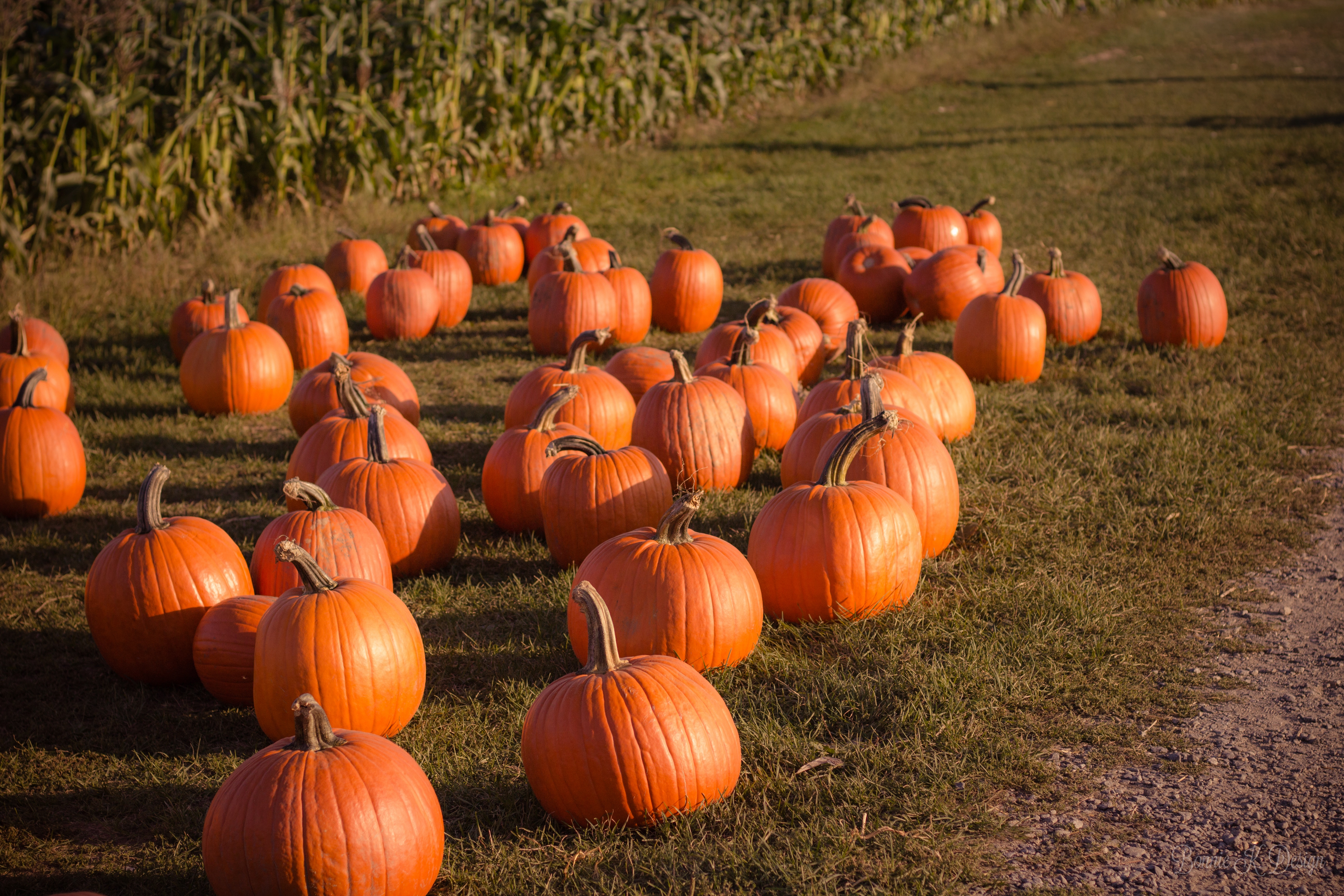pumpkin fall harvest